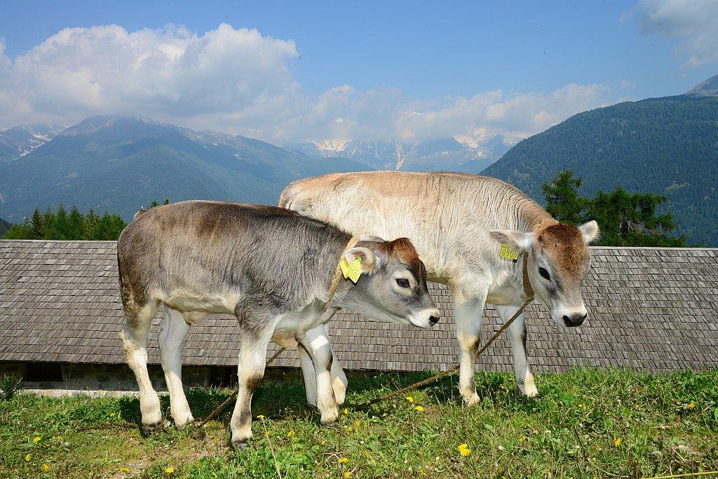 Le mucche e il latte